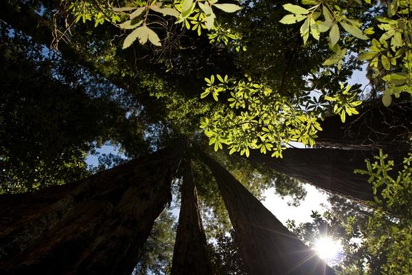 Robert Redford - Voice of the Redwoods