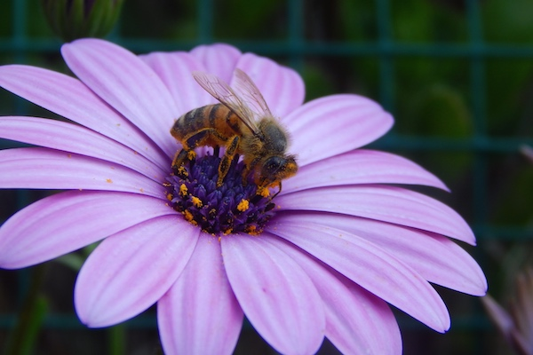 Court Protects Bees from EPA