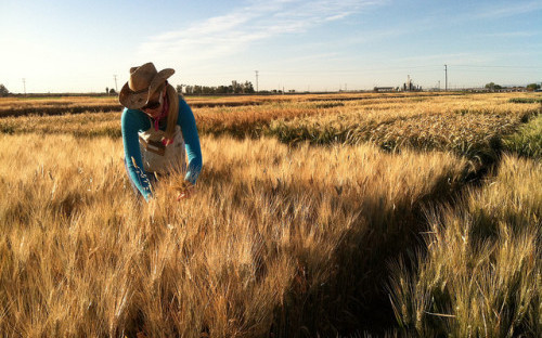 Wheat researcher in the field.