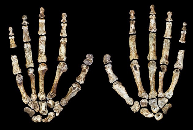 Bones from the Homo Naledi discovered in the Rising Star cave in South Africa