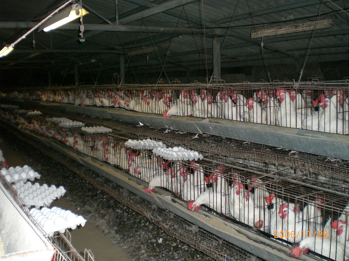 battery_cages_women_of_green